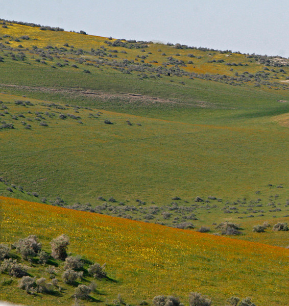 Flowered hills east of Santa Margarita