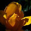 A rose in a friends garden, high noon too much contrast/