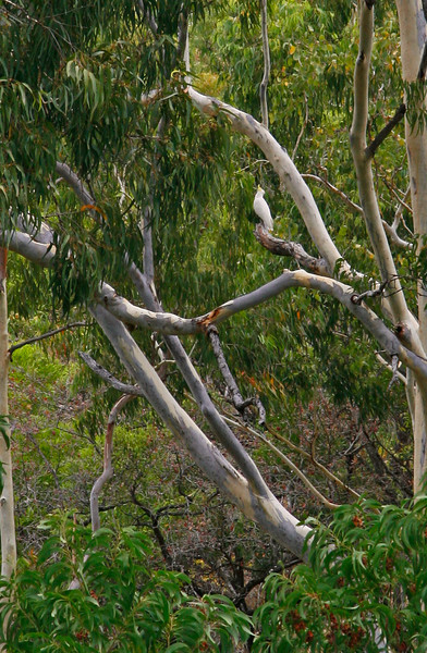 These beatiful birds can be seen in large flocks and were considered very common