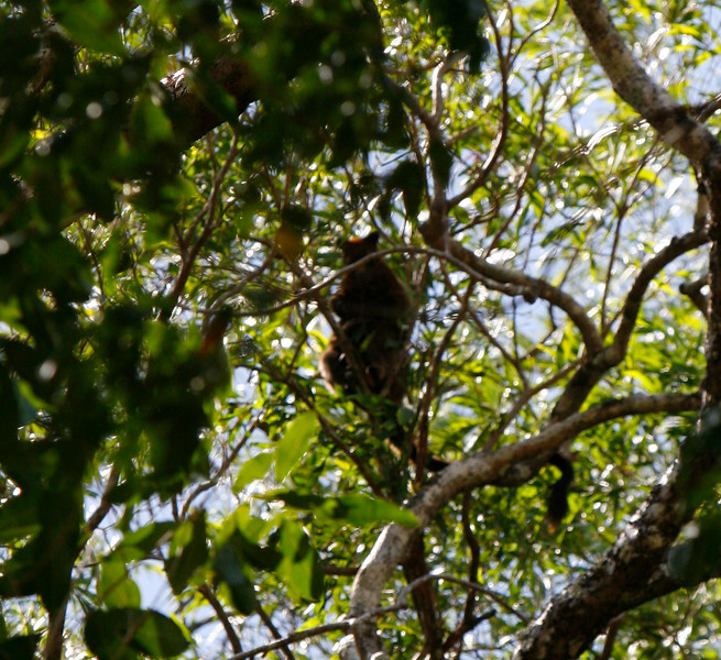 The Rangers spotted this Tree Kangaroo right where they thought it might be in a small piece of suitable habitat