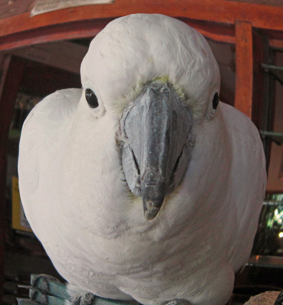 A friendly cockatoo in a restaurant.