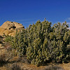 This juniper bush was loaded with juniper berries.<br /> Gin anyone?