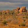 The joshua trees become a forest in certain locations.