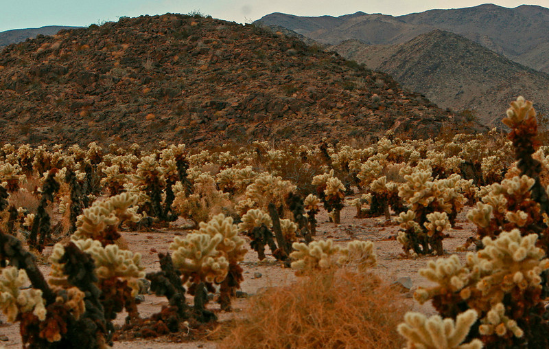 This cholla garden is a unusual concentration of these tough cactus.