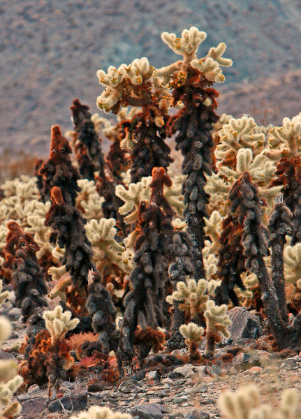 small family of cholla