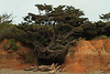 Shallow Roots, Kalaloch Beach, Olympic NP, WA<br /> <br /> This tree's got shallow roots!  But it's hanging in there.