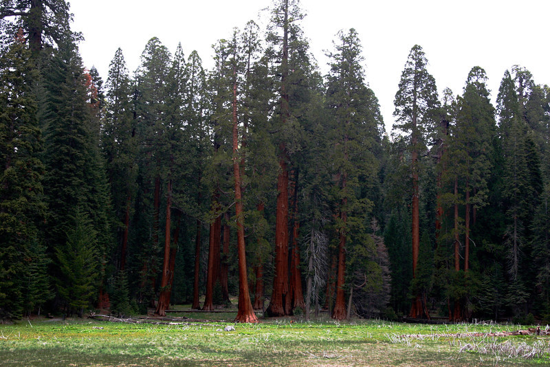 This grove of smaller sequoias average about 500 years old.