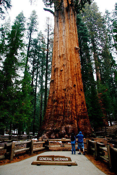 This is the largest tree in the park. Aged at 2200 years.