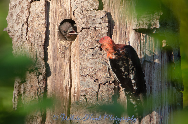 2016-06-12 - Red-Breasted Sapsucker
