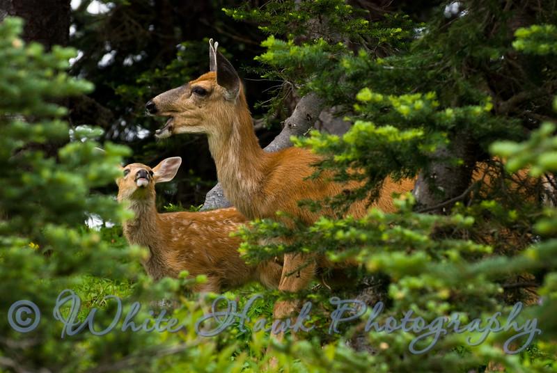 Deer with fawn, at Hurricane Ridge, Olympic Peninsula