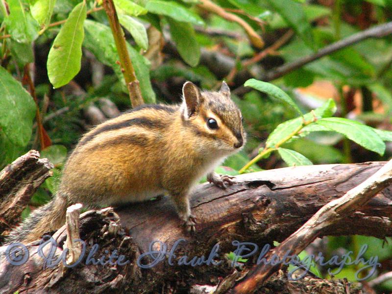Chipmunk on Log, in the Alpine Wilderness area