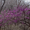 April 10, 2011.  A warm, windy Sunday afternoon at the Parkville Nature Sanctuary, Parkville, MO.  The Redbuds had just burst into bloom.