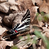 I was excited to see a Zebra Swallowtail--apparently laying eggs.  I was able to approach closely and get some good shots.