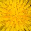 A dandelion by any other name...would probably get more respect!