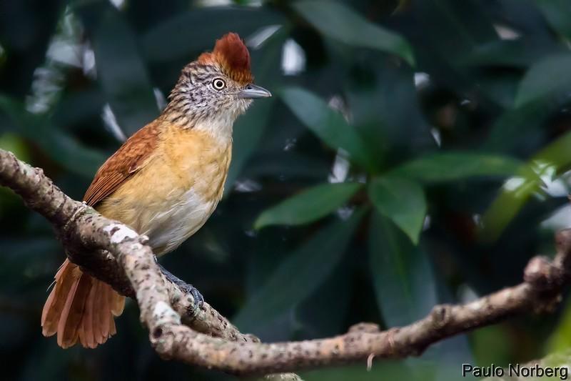 Thamnophilus doliatus<br /> Choca-barrada fêmea<br /> Barred Antshrike female<br /> Batará rayado - Che oro para