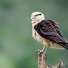 Milvago chimachima<br /> Gavião-carrapateiro<br /> Yellow-headed Caracara<br /> Chimachima - Kiri kiri