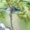 Polioptila dumicola<br /> Balança-rabo-de-máscara fêmea<br /> Masked Gnatcatcher female<br /> Tacuarita azul - Sîritui