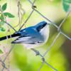 Polioptila dumicola<br /> Balança-rabo-de-máscara<br /> Masked Gnatcatcher<br /> Tacuarita azul - Sîritui