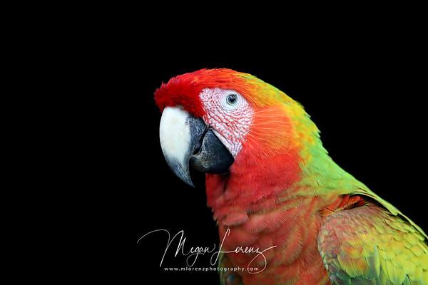 Wild Hybrid Macaw in Costa Rica