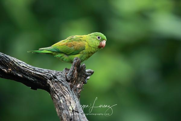 Orange-Chinned Parakeet in Costa Rica.