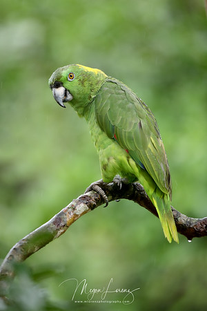 Yellow-Naped Amazon Parrot in Costa Rica