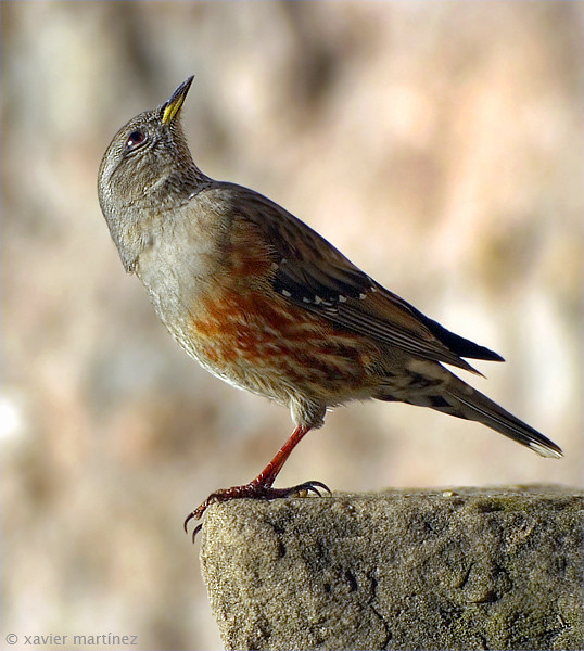 "<center>Prunella collaris <font size=""1"">Acentor Alpino Alpine Accentor  <i>clic en la foto para ampliar · click in the image to enlarge"