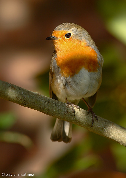 "<center>Erithacus rubecula <font size=""1"">Petirrojo Robin  <i>clic en la foto para ampliar · click in the image to enlarge"