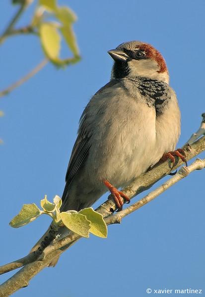 "<center>Passer domesticus <font size=""1"">Gorrión Común House Sparrow  <i>clic en la foto para ampliar · click in the image to enlarge"