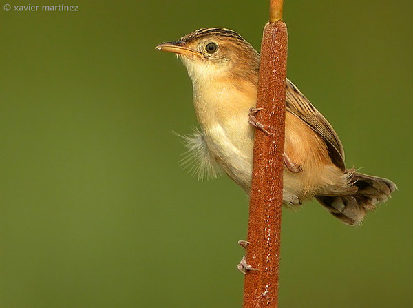 "<center>Cisticola juncidis <font size=""1"">Buitrón Fan-Tailed Warbler   <i>clic en la foto para ampliar · click in the image to enlarge"