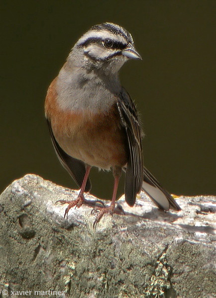 "<center>Emberiza cia <font size=""1"">Escribano Montesino Rock Bunting  <i>clic en la foto para ampliar · click in the image to enlarge"
