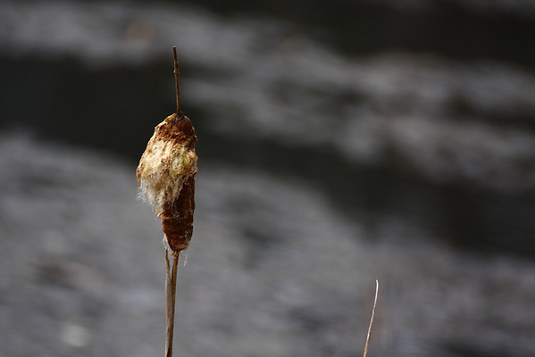 Cattail by Lost Lake in Patapsco Valley State Park.  Canon XSi with Tamron 70-300 vc lens.