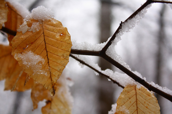 Snowy leaf in Patapsco Valley State Park along the Buzzards Rock Trail.  Canon XSi with 18-55 is kit lens.