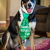 Dogs St Pat's Day-2205