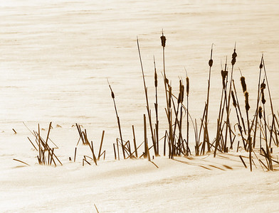 Winter Bullrushes - Elk Island National Park, Alberta, Canada.