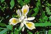 Slender-tubed Iris (Iris chrysophylla).