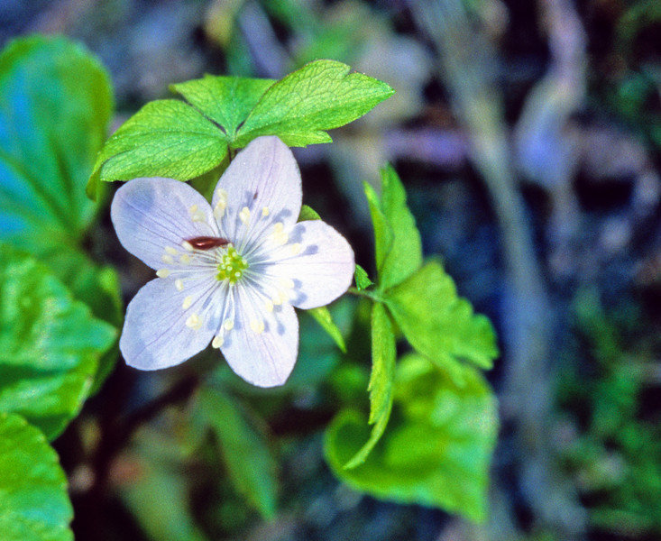 Lyall's Anemone (Anemone lyallii).