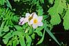 Great Polemonium (Polemonium carneum).