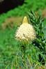 Beargrass (Xerophyllum tenax).
