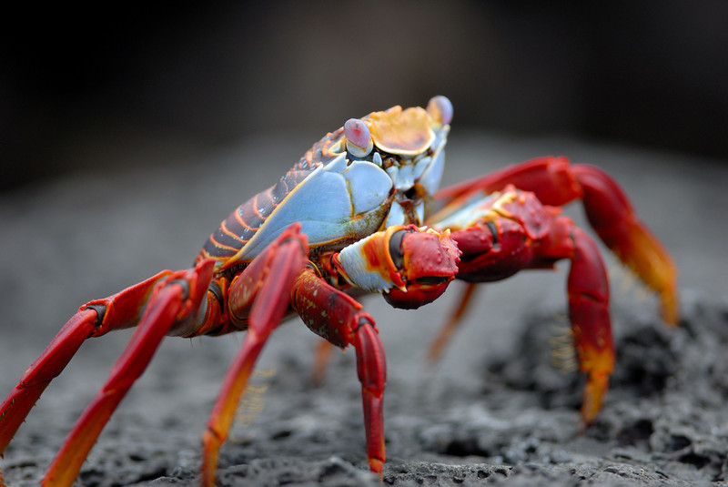 Sally Lightfoot Crab, Santa Cruz Is, Galapagos