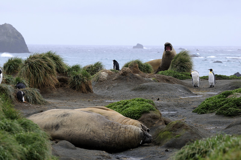 A typical day in the life of Macquarie Island. Elephant seals, King and Gentoo penguins all vying for real estate on the thin strips of beach surrounding the mountainous island.
