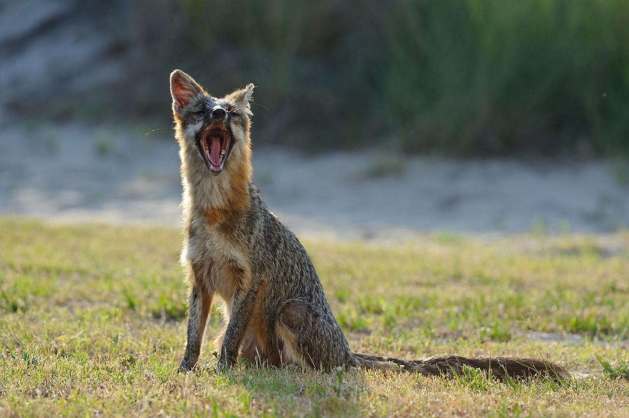 Grey Fox, OBX
