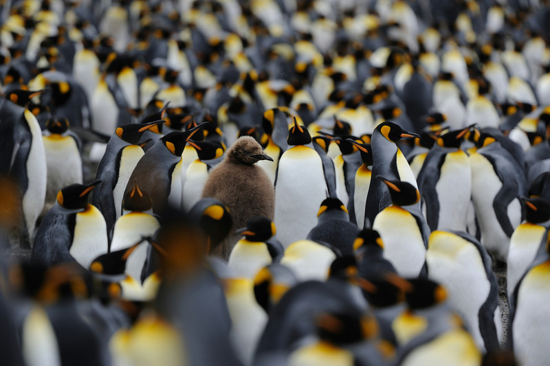 A lone chic stands amid a chaotic chorus of adult King penguins on Sandy beach, Macquarie Island.