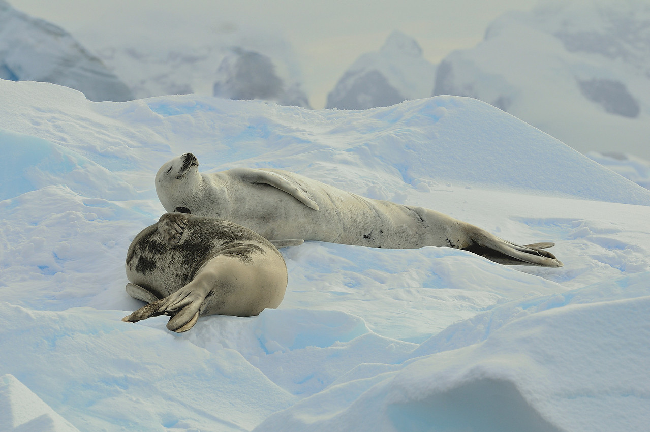 Crabeater seals lounge in the fading light of the midnight sun, Antarctic peninsula.