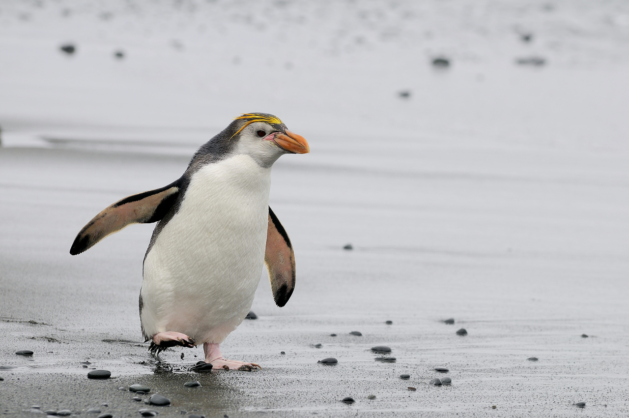 A Royal penguin emerges from the chilly waters surrounding Macquarie Island.