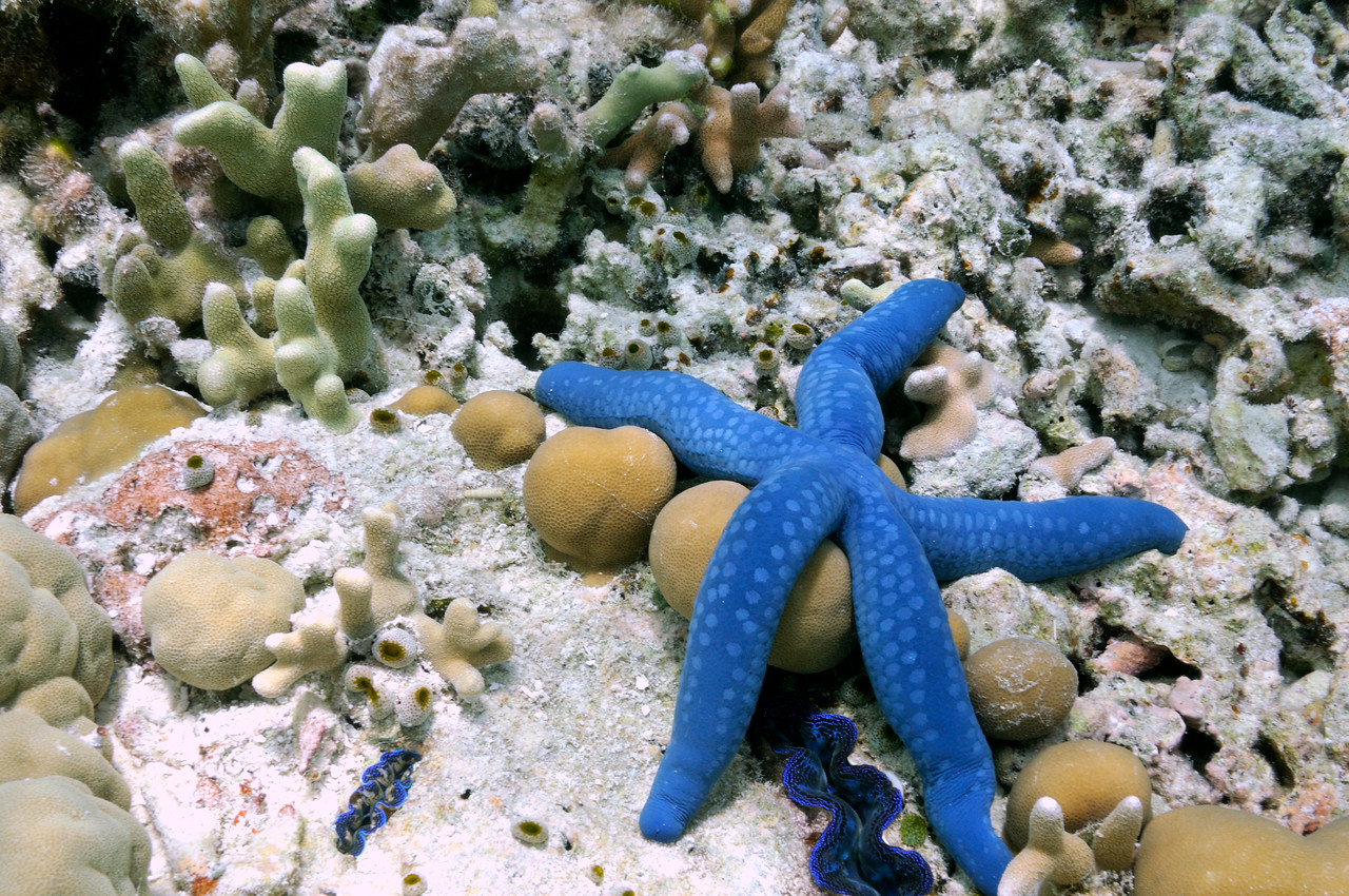 Blue Starfish, Linckia laevigata in the warm tropical waters of Palau