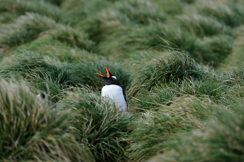 A Gentoo penguin in a sea of tussock grass.