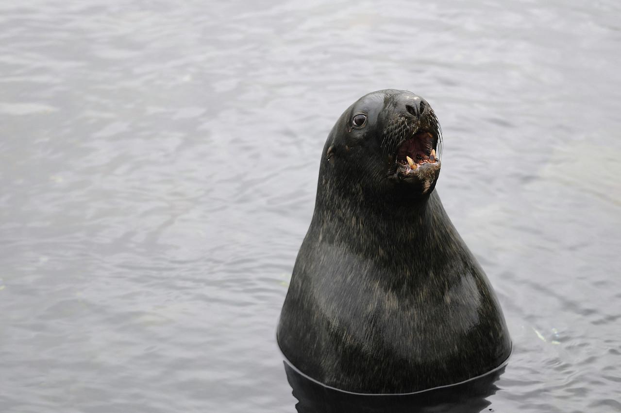 I CAN HAS FISH? (New Zealand Sea Lion aka Hooker's Sea Lion, Campbell Island)
