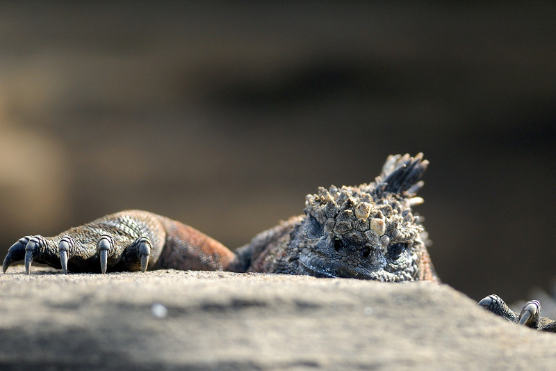 Marine Iguana hanging on