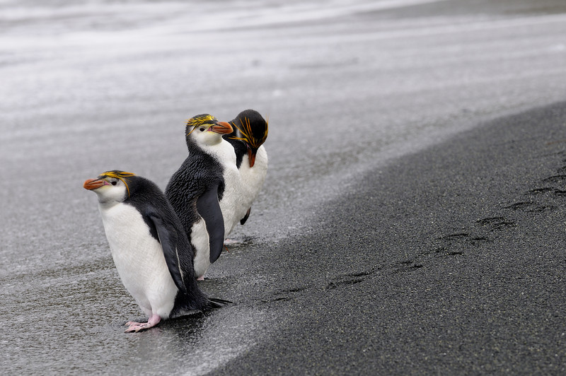 "Royal penguins can be differentiated from the other ""crested"" penguins by their white throats."