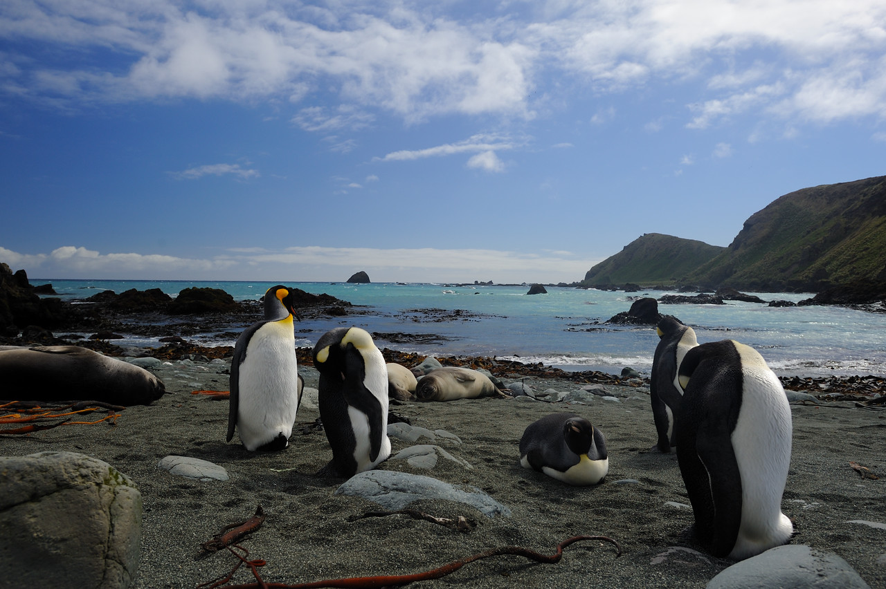 An adult King penguin stands with several other maturing King's (yellow) during a rare sunny day on Macquarie.